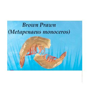 Brown Prawn Metapenaeus Monoceros