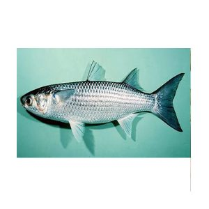 Striped Mullet (Mugil cephalus)